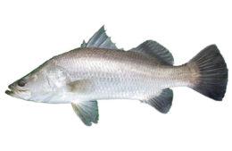 Fishance barramundi