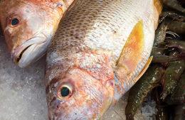 Fishance golden snapper
