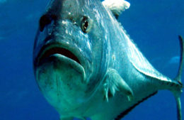 Fishance giant trevally