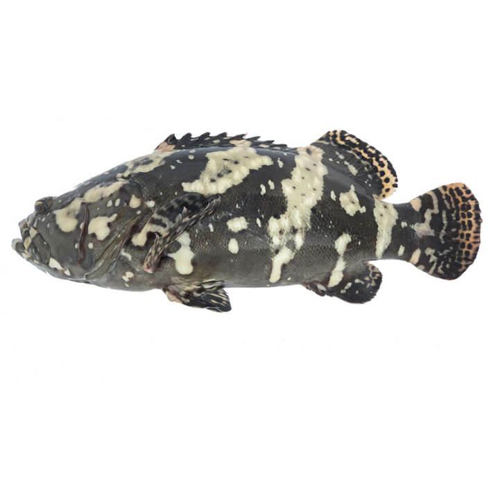 Hybrid Grouper